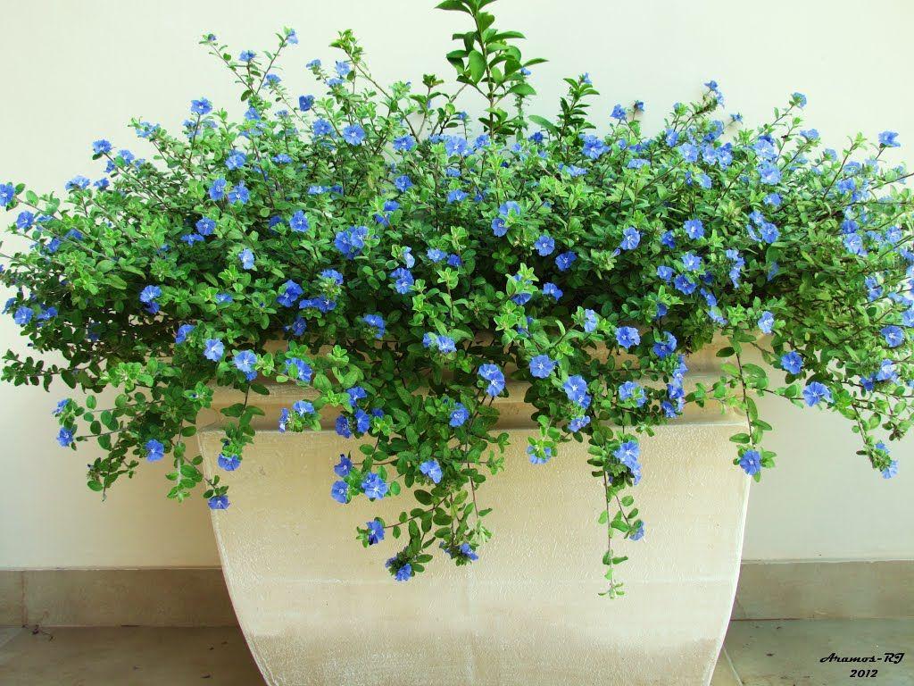 Planta rasteira azul no vaso