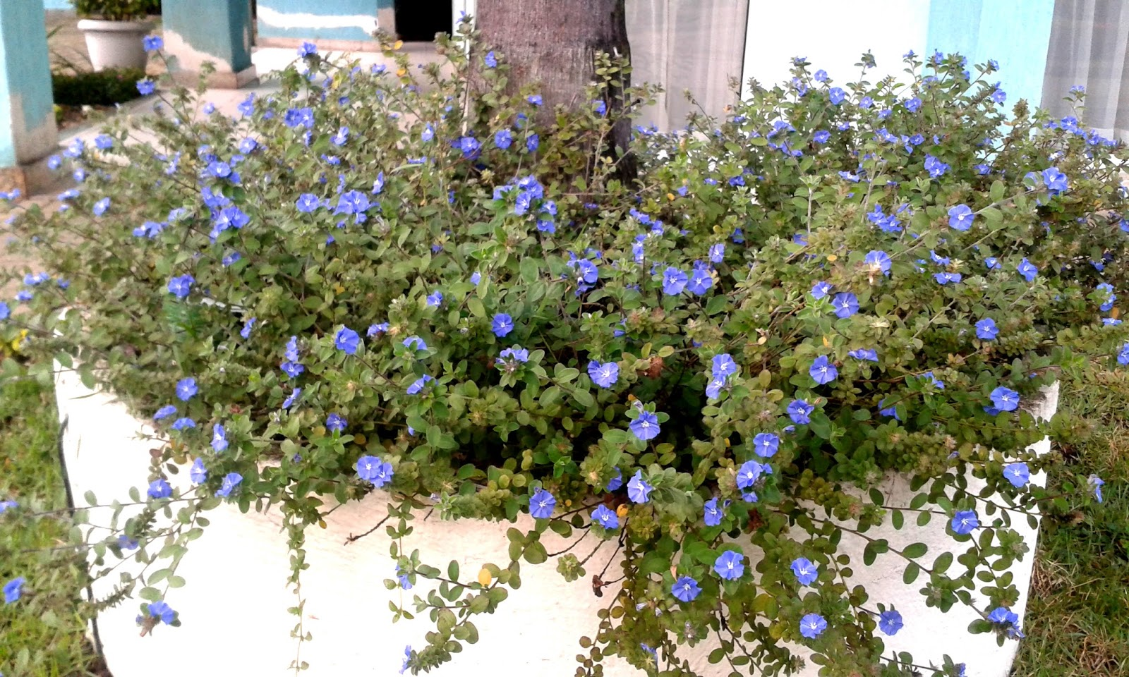 Planta rasteira azulzinha