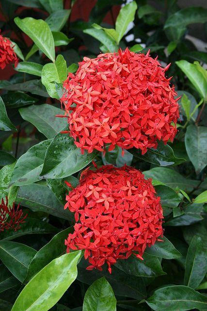 Planta rasteira vermelha ixora