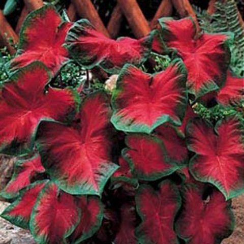 Planta rasteira vermelha