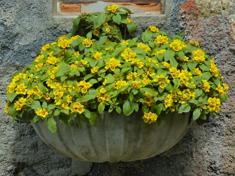 Plantas rasteiras amarelas