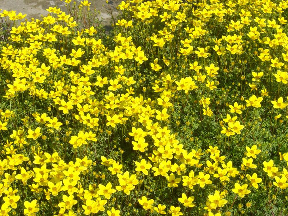Plantas rasteiras amarelass