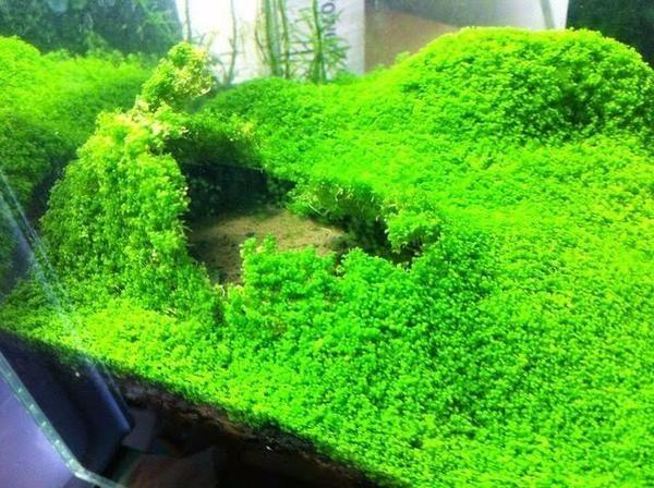Plantas rasteiras aquárioo