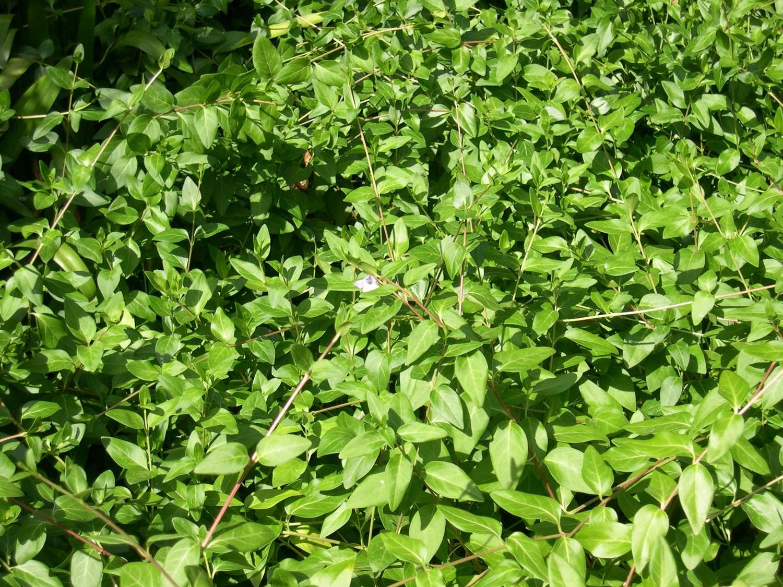 Plantas rasteiras de sombra