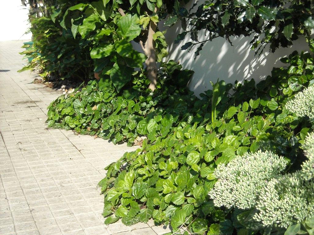 Plantas rasteiras para canteiross