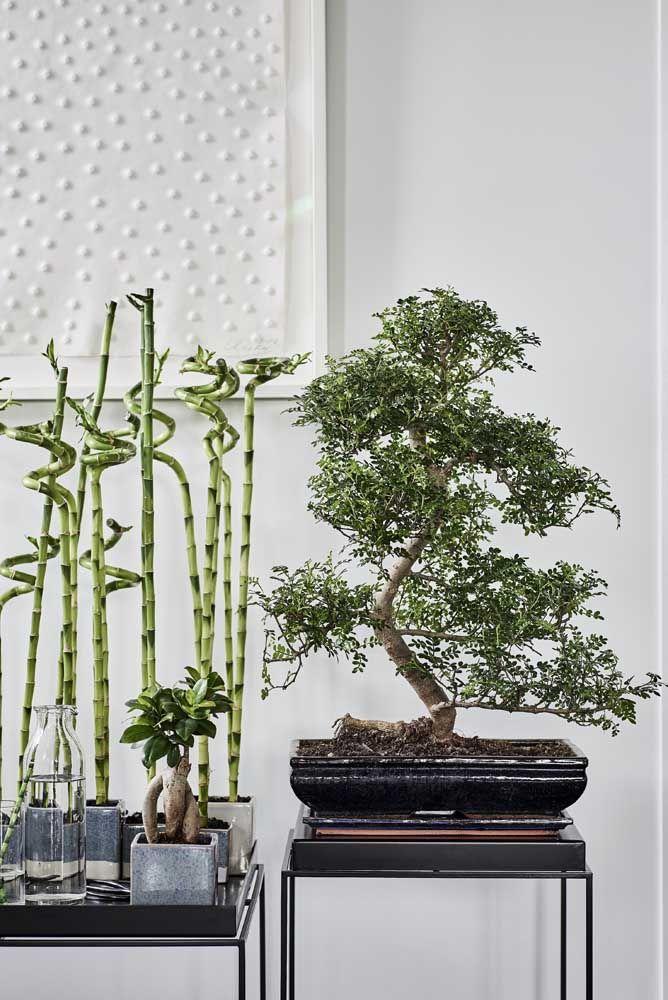 Bambu da sorte plantado na terra