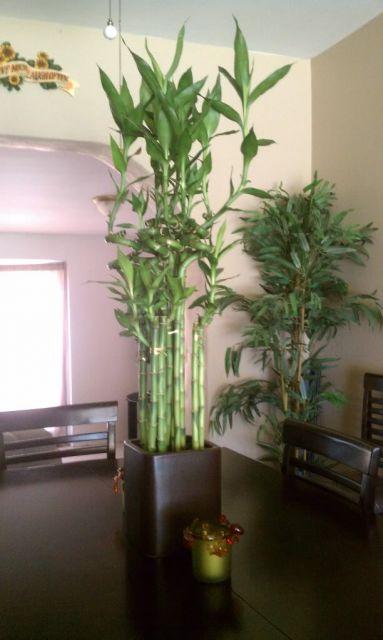 grande bambu da sorte