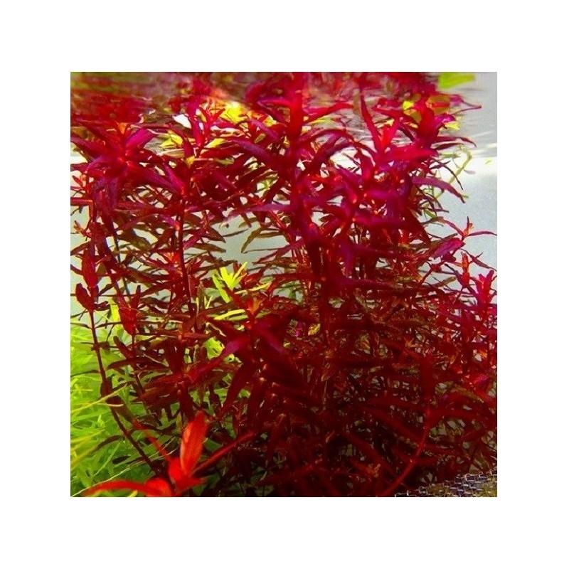 folhagem vermelha na panta submersa